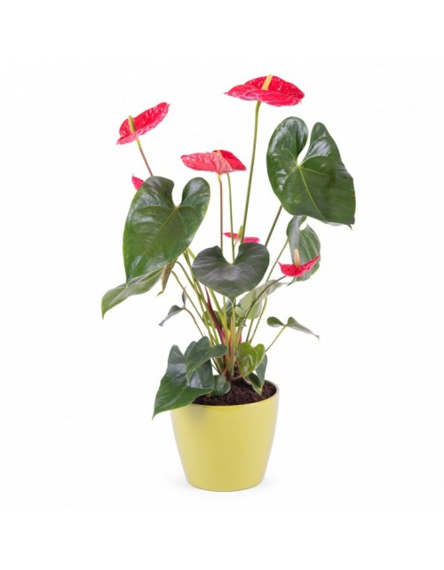 Anthurium Rojo con Macetero
