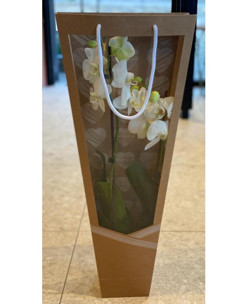 Phalenopsis con macetero