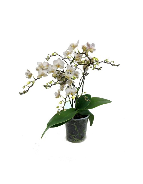 Phalenopsis 5 ramas